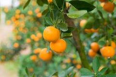 Кумкват, символ въетнамского лунного Нового Года В почти каждом домочадце, критические приобретения для Tet включают персик и kum Стоковое Фото