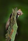 Куница бука, foina Martes, с ясной зеленой предпосылкой Каменная куница, портрет детали животного леса Малый хищник сидя дальше Стоковые Изображения