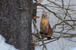 Куница сосны на ветви дерева в зиме стоковые фото