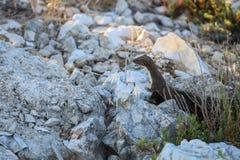 Куницевый/наименьшая ласка смотрят от норки стоковое фото