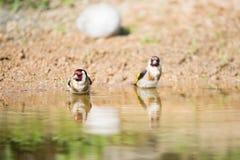 Купать европейский goldfinch Стоковые Изображения