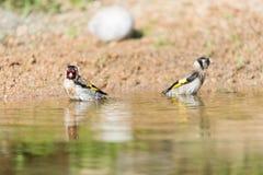 Купать европейский goldfinch Стоковое Фото