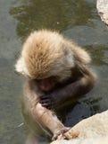 Купать обезьяну снега стоковая фотография rf