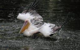 купать пеликана стоковая фотография rf