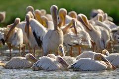 Купать пеликанов Большие белые пеликаны на береге озера Natron стоковое фото