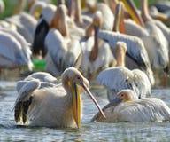 Купать пеликанов Большие белые пеликаны на береге озера Natron стоковое фото rf