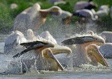Купать пеликанов Большие белые пеликаны на береге озера Natron стоковое изображение rf