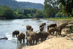 купать слонов Стоковое Изображение RF