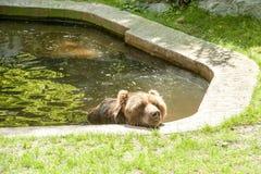 Купать солнца гризли бурого медведя Стоковые Изображения