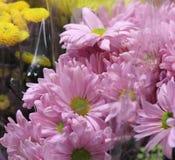 Купите меня розовыми маргаритками Стоковое Фото