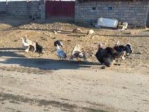 Курдский индюк стоковые изображения rf