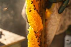 Курильщик пчелы куря в пчеловодстве пчел меда copyspace пасеки сезонном обрабатывая землю органическая продукция производящ конце Стоковая Фотография RF