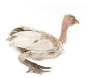 курица Бенина стоковая фотография rf