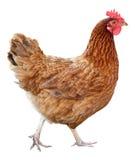 Курица Брайна изолированная на белой предпосылке стоковые изображения