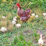 Курица Брайна и стадо цыпленоков на зеленой траве Стоковое Изображение