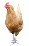 Курица Брайна на белой предпосылке стоковые изображения rf