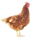 Курица Брайна стоковая фотография rf