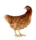 Курица Брайна Стоковое фото RF