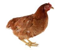 Курица Брайна Стоковые Изображения RF
