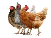 Курица Брауна 3 цыплят изолированная на белой предпосылке стоковые изображения