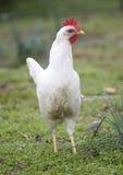 курица высокорослая Стоковая Фотография RF