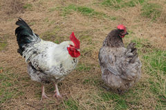 Курица в дворе стоковое изображение rf