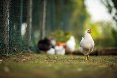 Курица в farmyard стоковые изображения