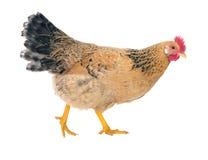 Курица грациозно цыпленка кладя, красный цвет изолировано Фото серии Стоковые Фото