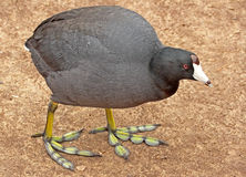 Курица грязи Стоковые Фотографии RF