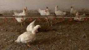 Курица и петух стоковые фото