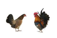 Курица и петух стоковые изображения rf