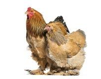 Курица и петух Brahma, стоя против белой предпосылки стоковая фотография
