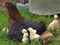 Курица и цыпленоки стоковое фото
