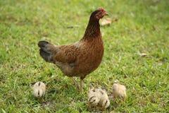 Курица и цыпленоки в Key West, Флориде стоковые фото