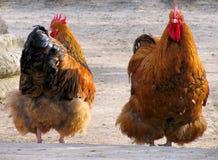 курица крана Стоковые Фотографии RF