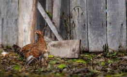 Курица матери размышляя ее цыпленоки стоковые изображения