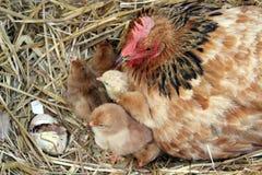 Курица матери с ее цыпленоками стоковые фото