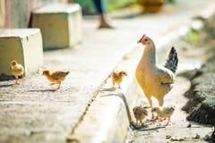 Курица матери с цыплятами на улице дикой стоковая фотография