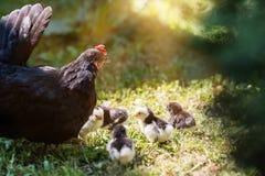 Курица при цыплята младенца пряча под своими крылами, стоковые фото