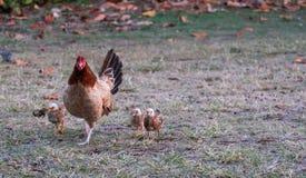 Курица с ее цыпленоками следовать позади стоковые фотографии rf