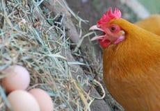 Курица с ее яичками стоковая фотография