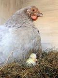 Курица с породой спать под крылами Стоковые Изображения