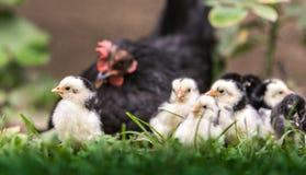 Курица с цыпленком младенца стоковые изображения
