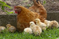 Курица с 2 цыпленоками недель старыми на открытом воздухе в зеленой траве стоковая фотография