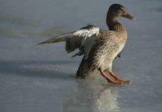 Курица утки кряквы зимы Стоковое Изображение RF