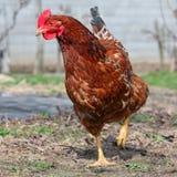курица фермы стоковая фотография rf
