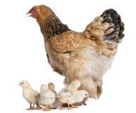 курица цыпленоков brahma коричневая она Стоковое Изображение