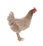 Курица цыпленка кладя в грациозно представлении изолировано Стоковая Фотография
