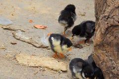 курица цыплят Стоковое Фото