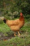 Курица Стоковое Изображение